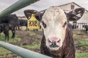 Mens Health in Rural Ireland, Black & White Calf in Farmyard